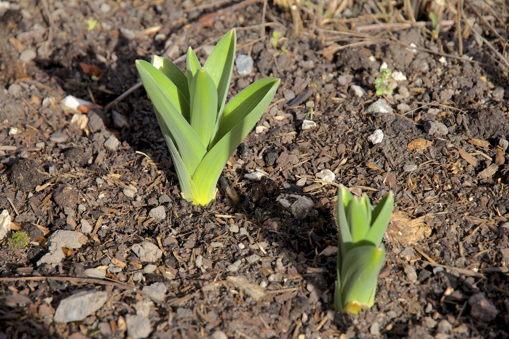 Info On Spring Bulb Flowers How Long Does It Take For Bulbs To