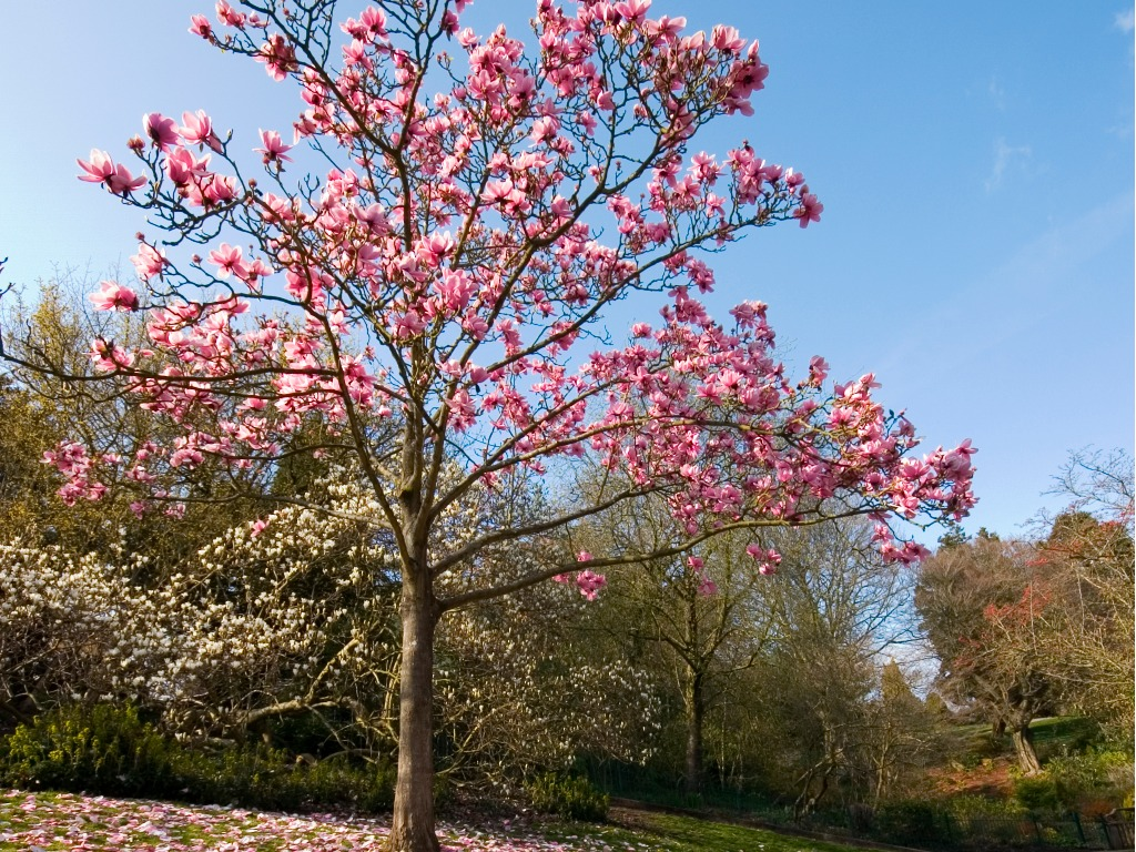 Magnolia Tree Types Learn About Common Varieties Of Magnolia Trees