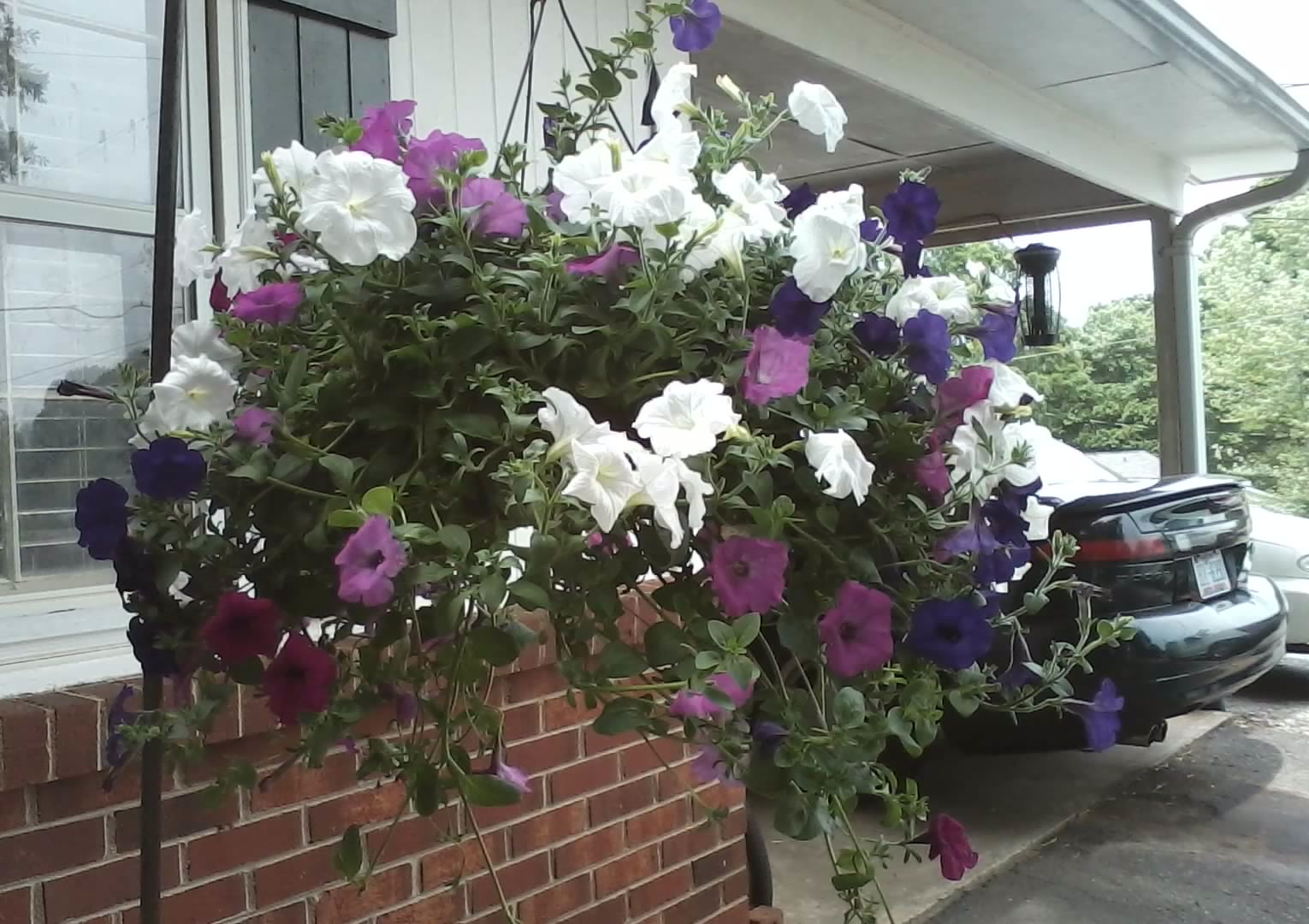 Planting Petunias In Hanging Baskets Cascading Petunia Care And