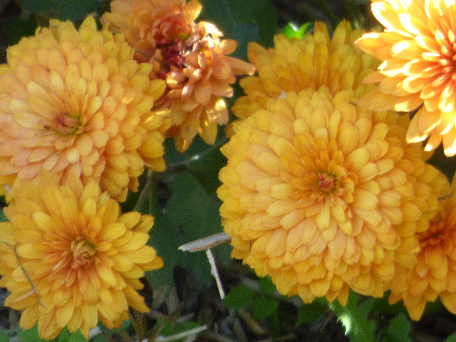 Fact About Chrysanthemum Flowers Are Mums Annual Or Perennial