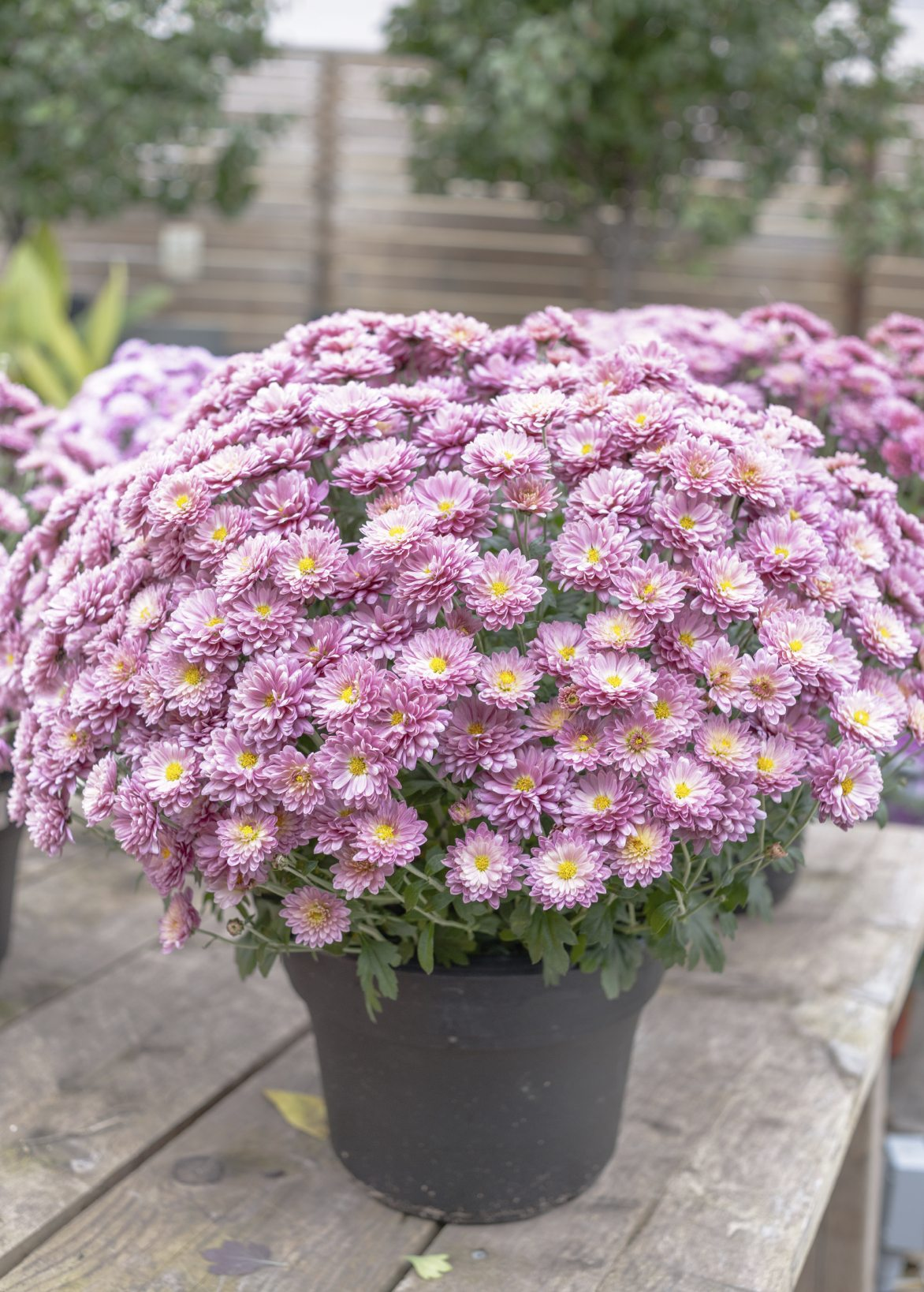 Care Of Container Grown Mums Tips For Growing Chrysanthemums In Pots
