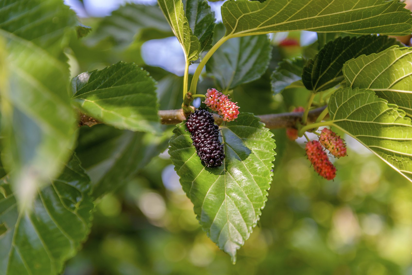 Growing Mulberries In Containers Learn About The Care Of Mulberry