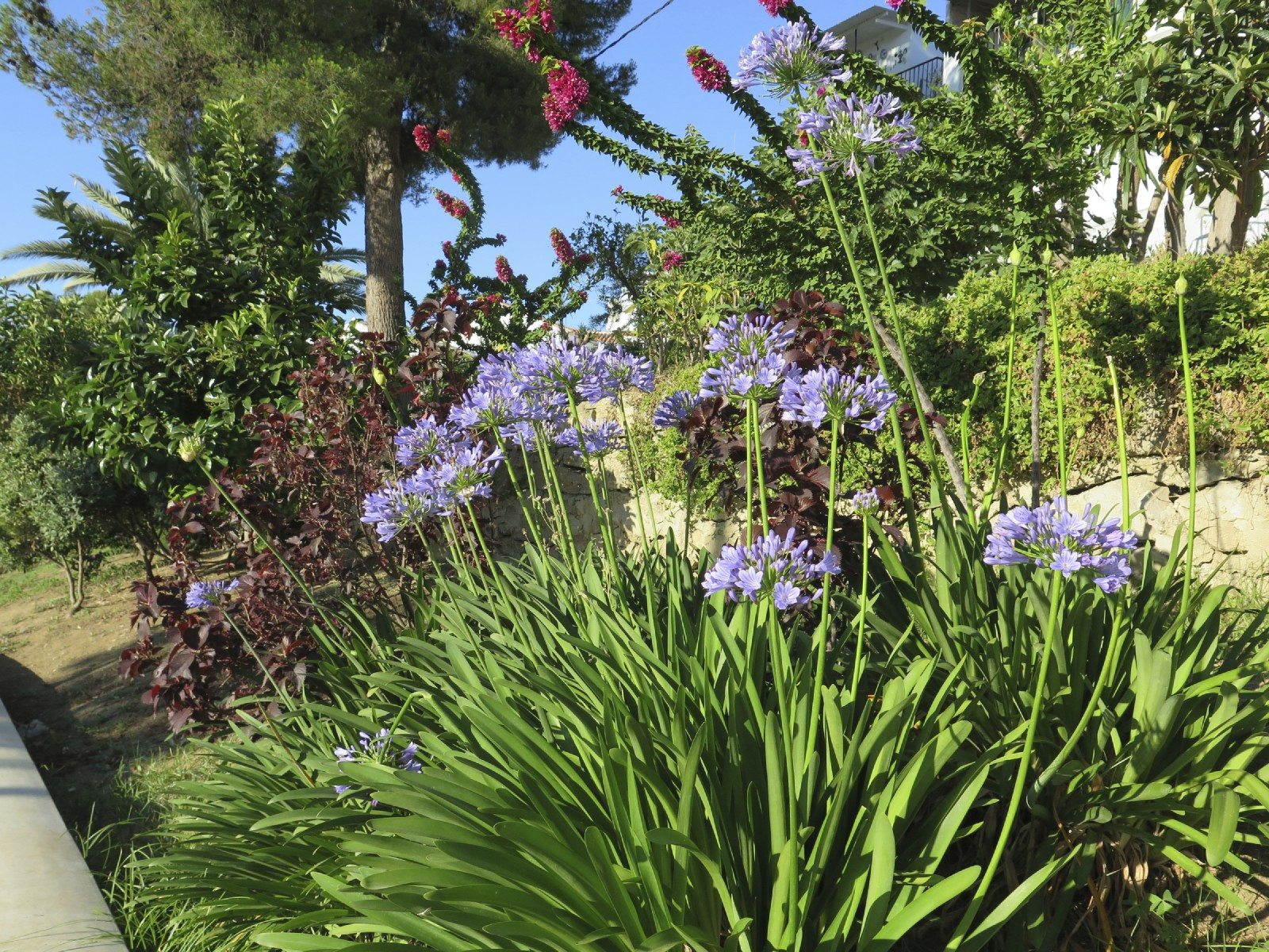 Agapanthus Companion Plants Learn About Plants That Grow Well