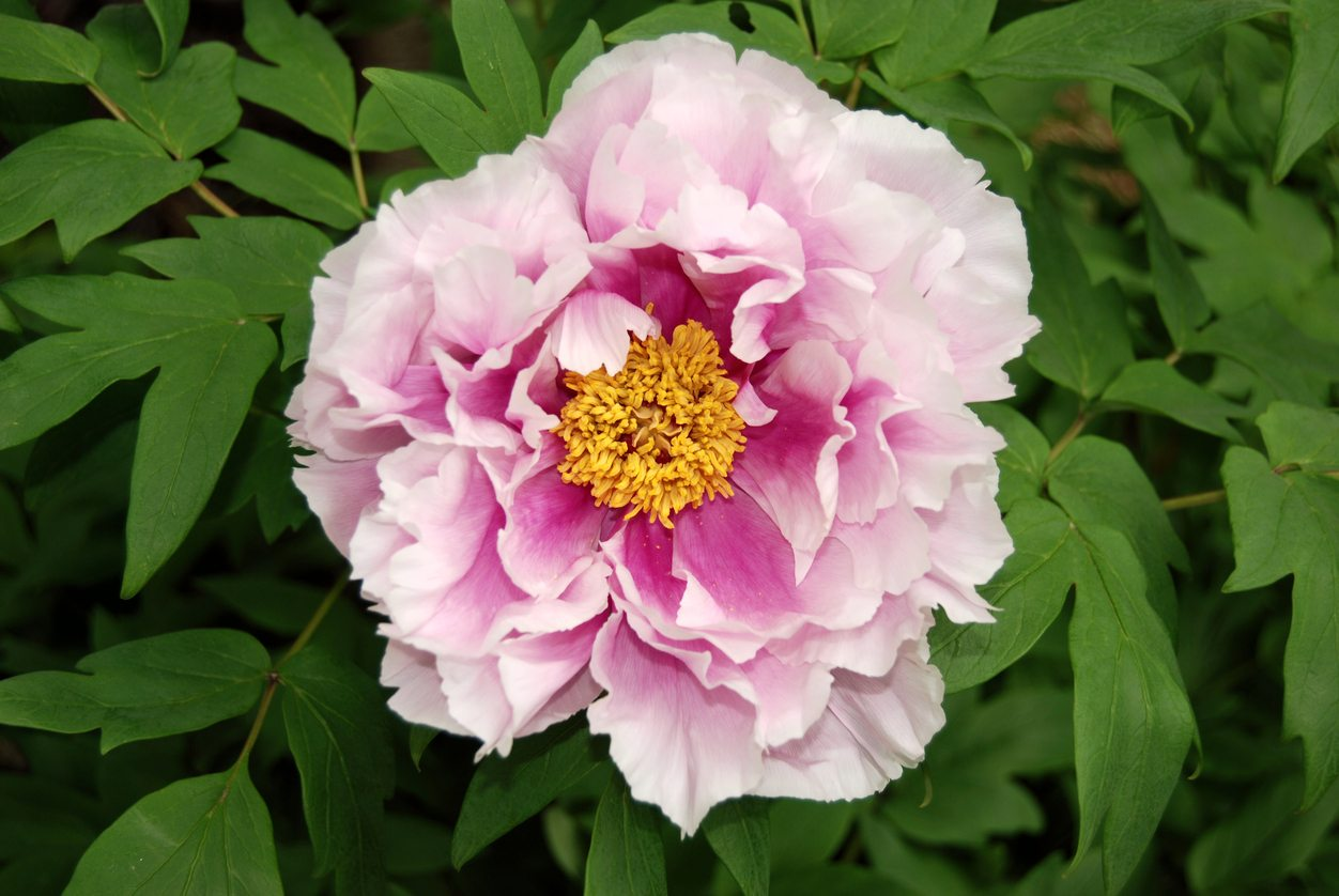 Growing Tree Peonies Learn About Tree Peony Care In Gardens
