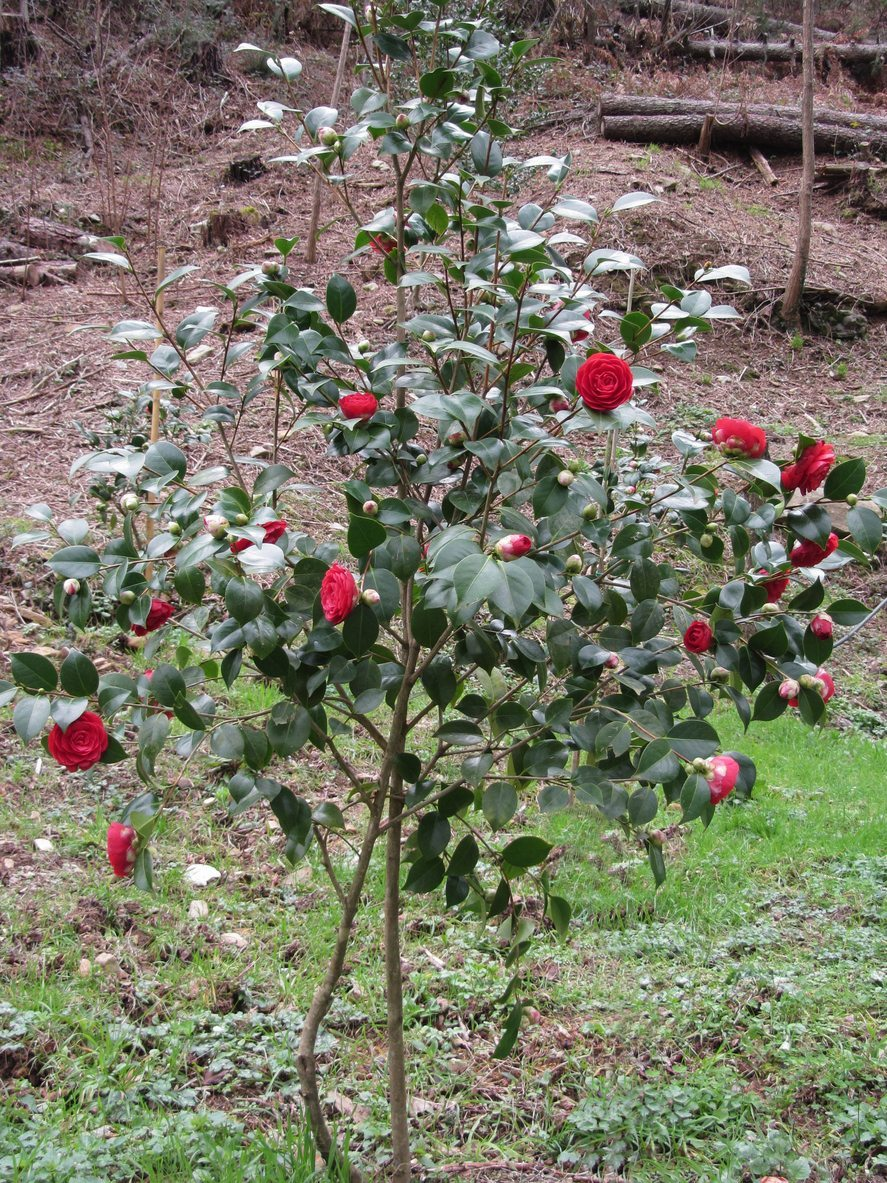 When To Move A Camellia Bush A Guide To Transplanting Camellias