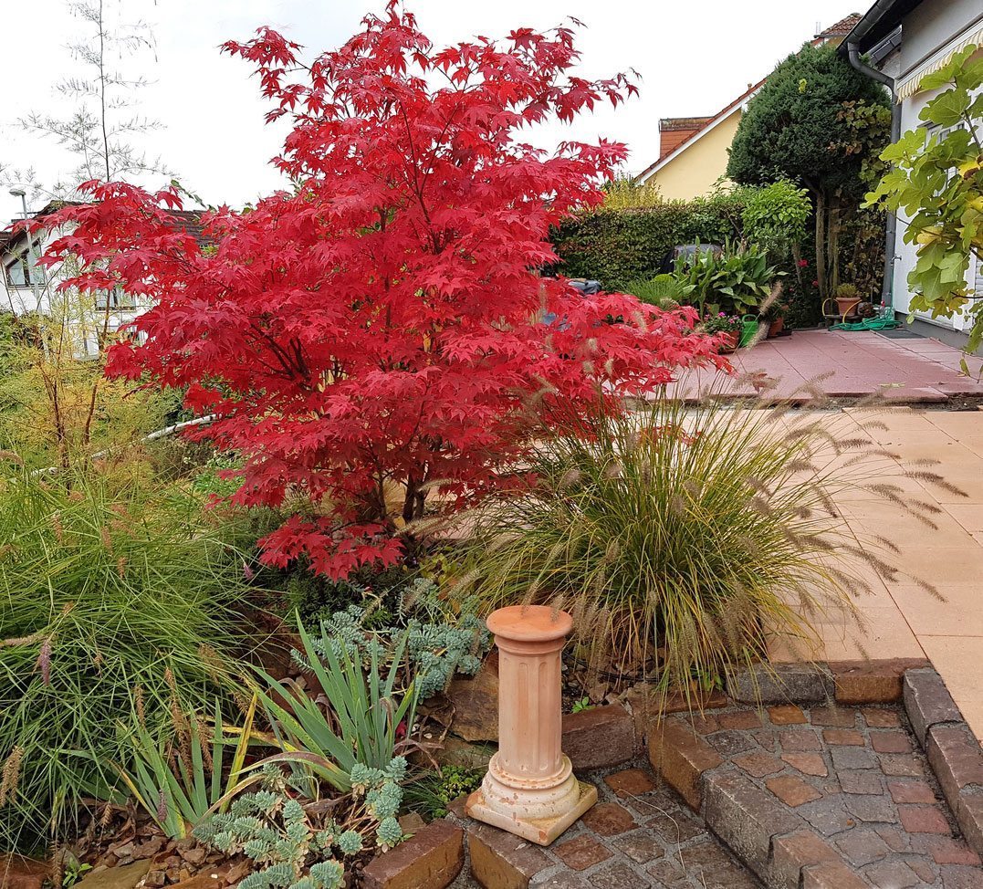 Japanese Maple Fertilizer Needs When To Fertilize Japanese Maple