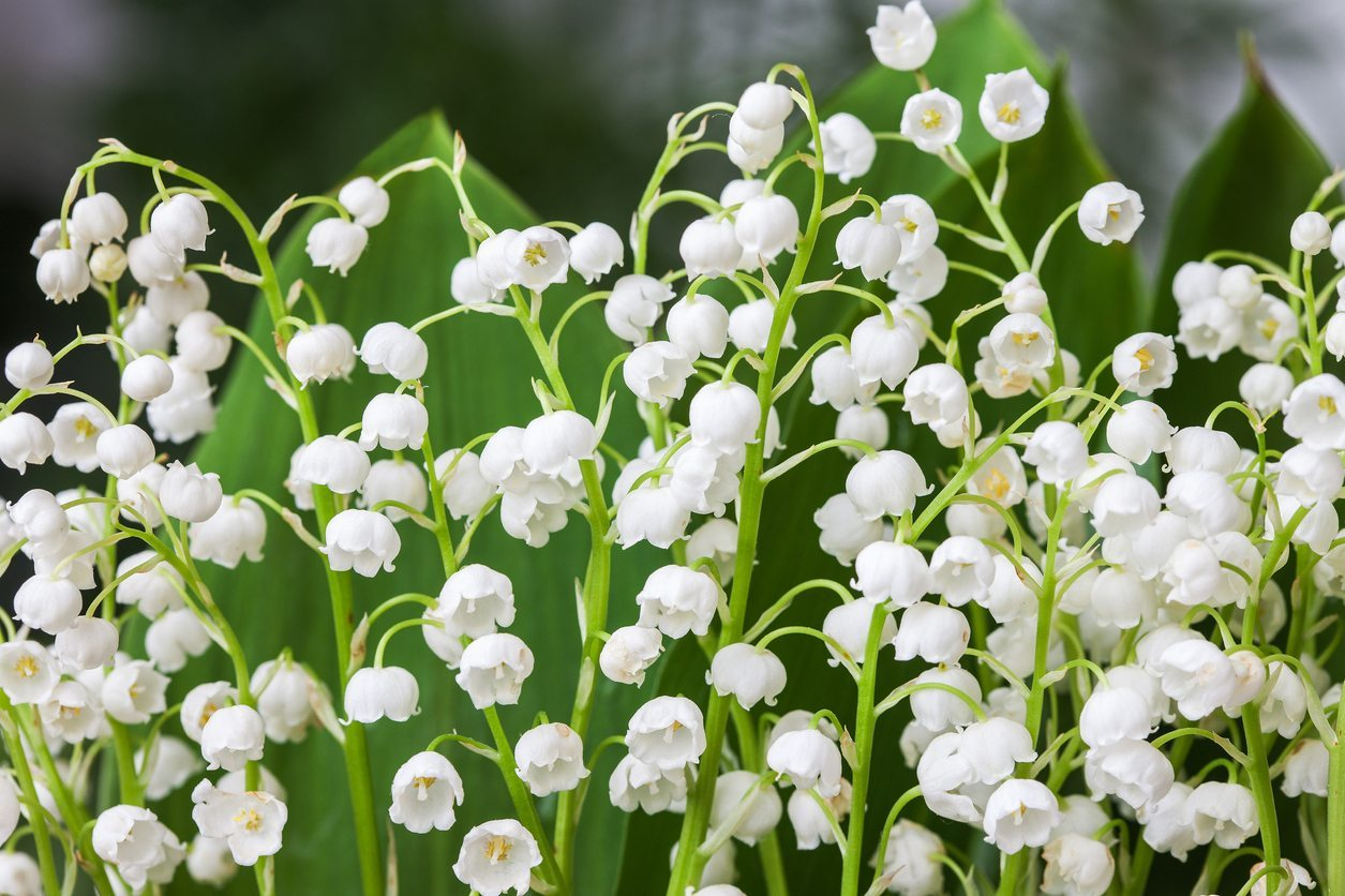 Lily Of The Valley Plant Types Learn About Different Kinds Of