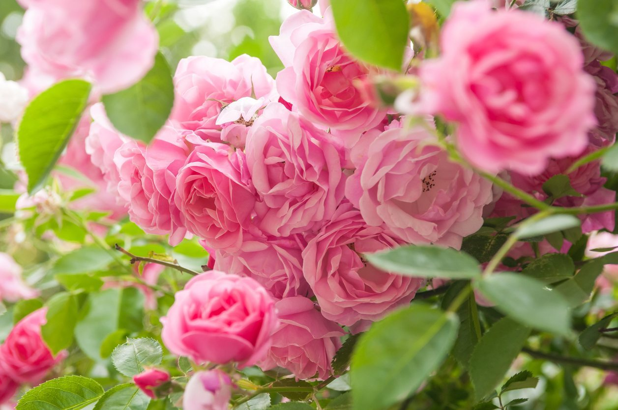 What Roses Grow In Zone 9 Selecting Rose Bushes For Zone 9 Climates