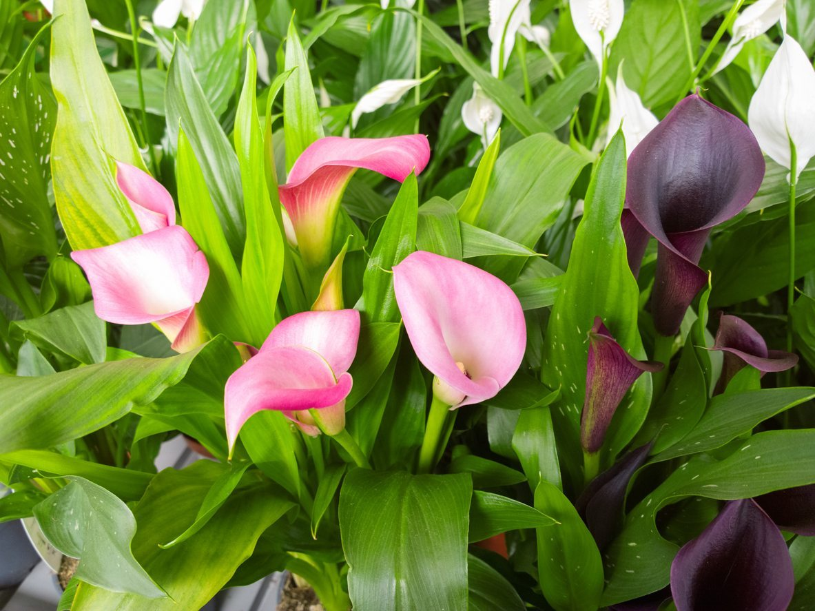 Types Of Calla Lily Learn About Different Varieties Of Calla Lilies