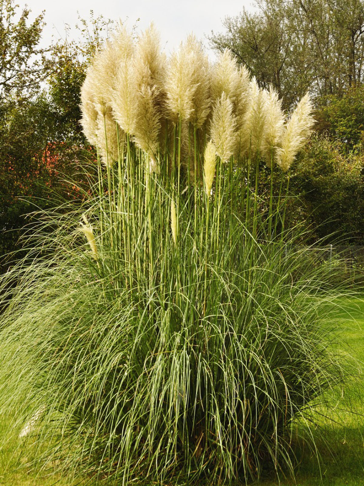 How To Transplant Pampas Grass Tips For Transplanting Pampas Grass