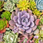 Different Succulent Colors Choosing Bright Colorful Succulents