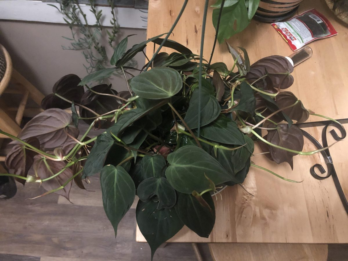 Large Velvet Philodendron micans