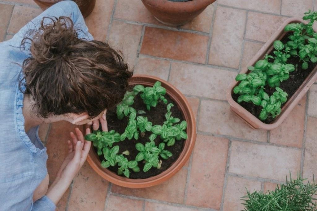 Basil Plant- Pet Friendly Plant