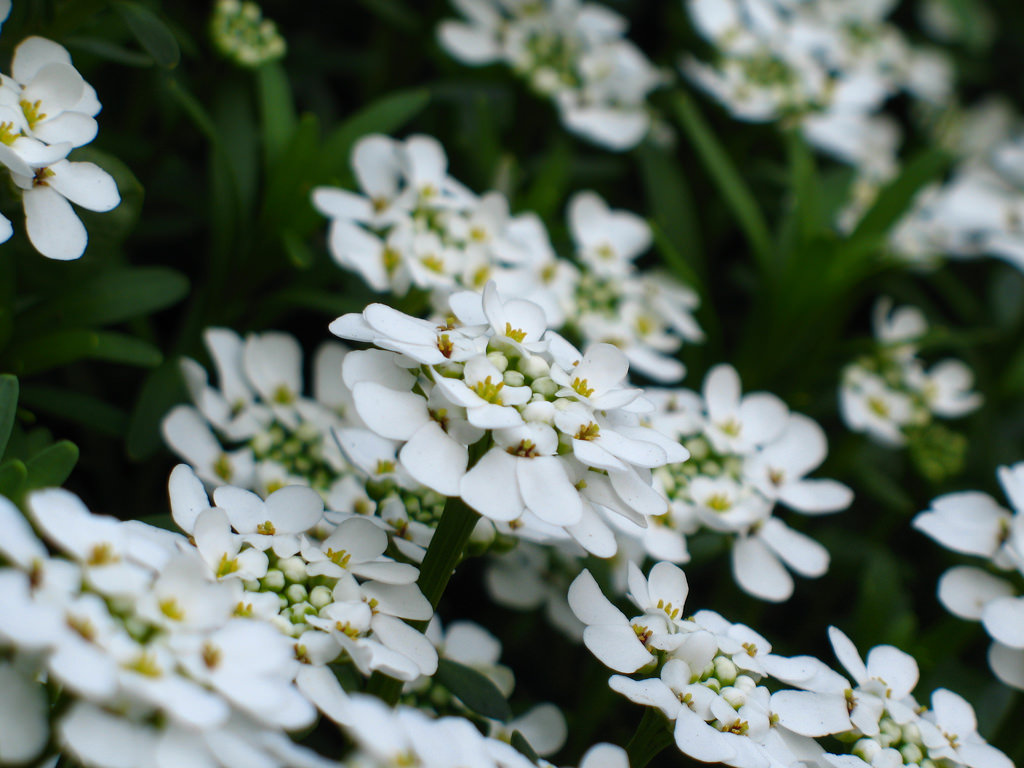 candytuft-flower