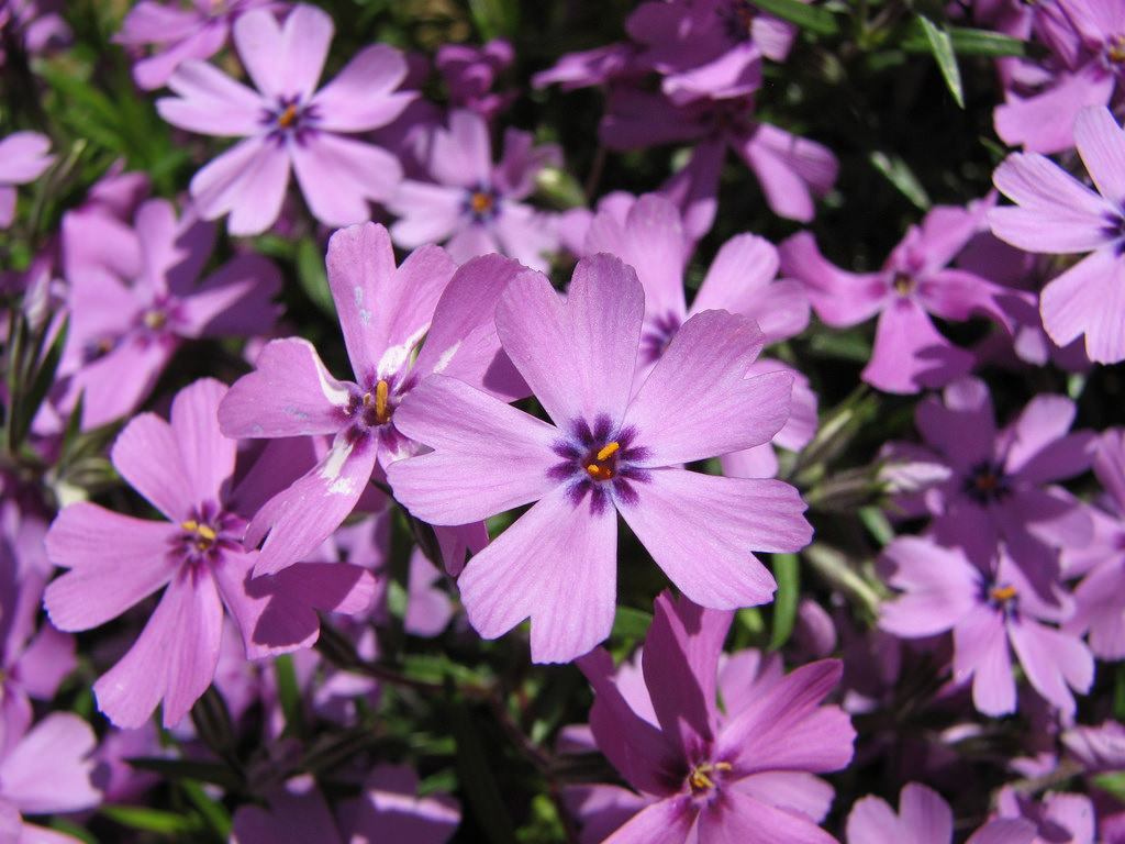 creeping-phlox-flower