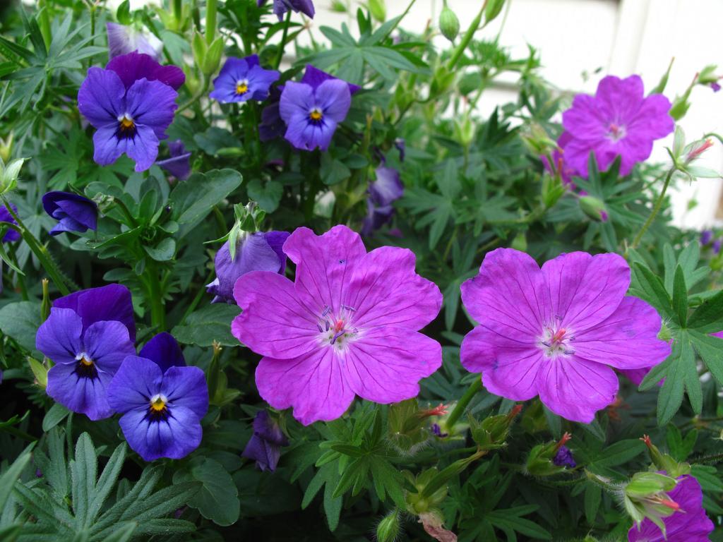 perennial-geranium-flower