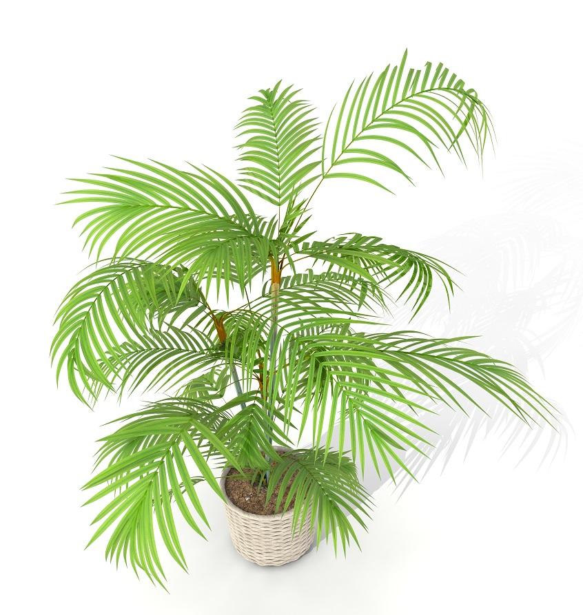 bamboo-palm-tree