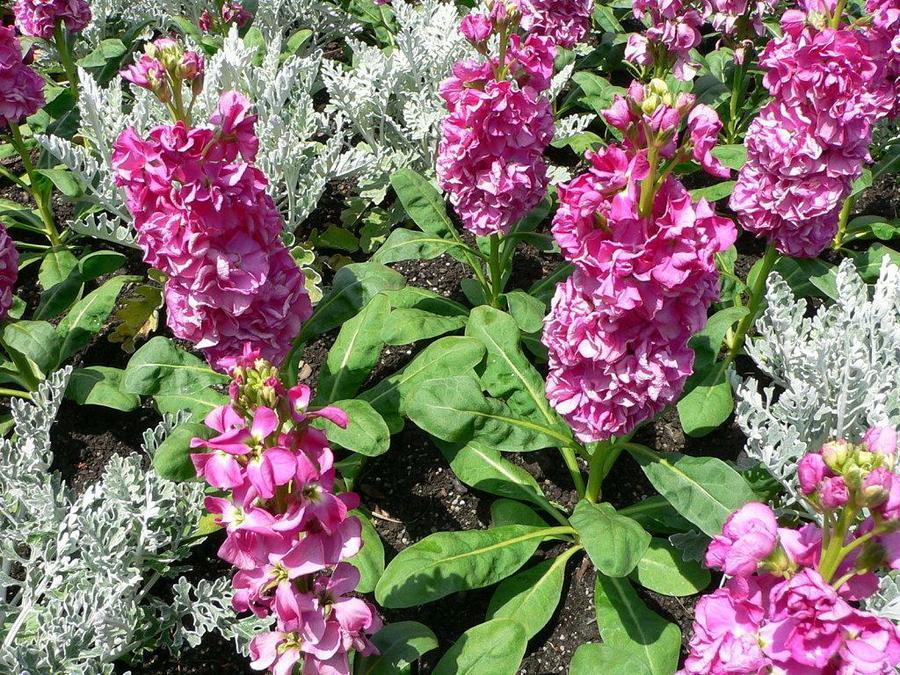 cinderella-stock-flower