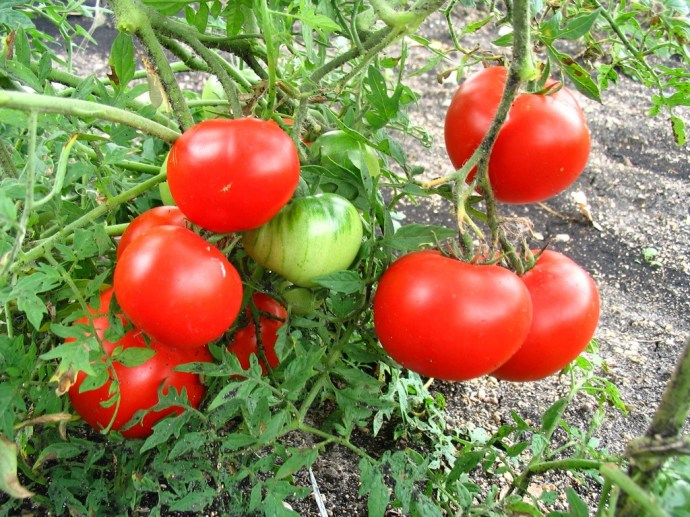 best-tomatoes-to-grow-in-a-container_8