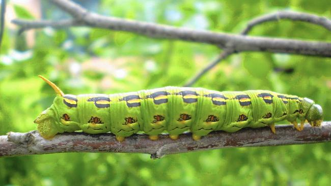how-to-get-rid-of-caterpillars_3