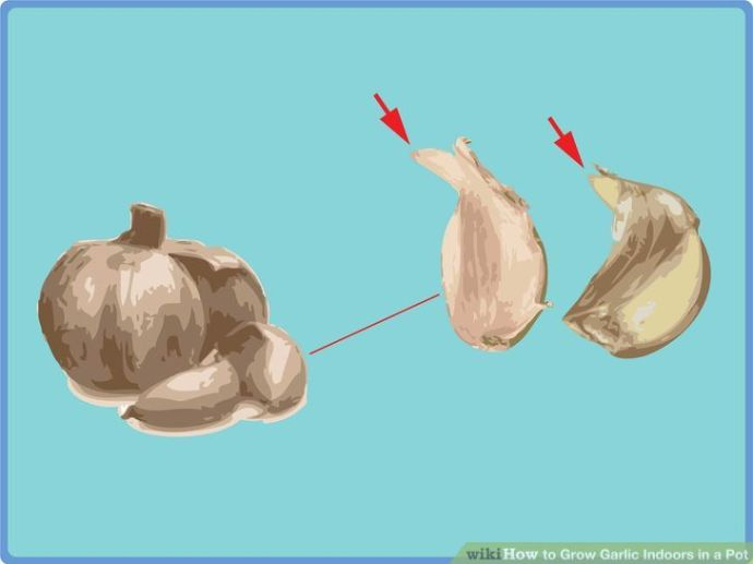 how-to-grow-garlic-indoors_1