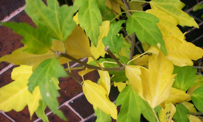 8 Simple Things To Know About Yellow Leaves On Hibiscus Garden Loka
