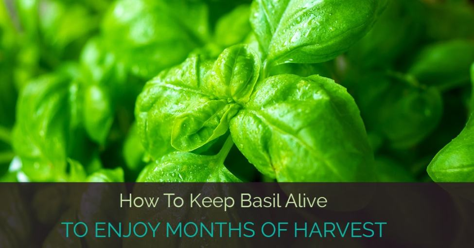 how-to-keep-basil-alive