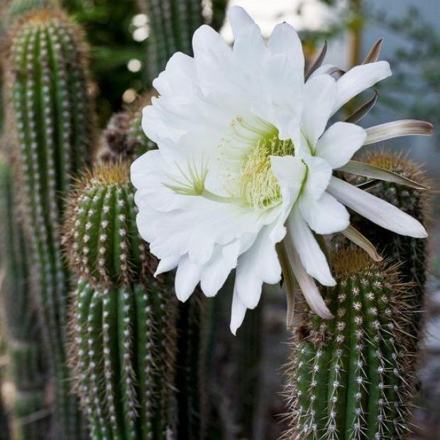 indoor-cactus-types-1
