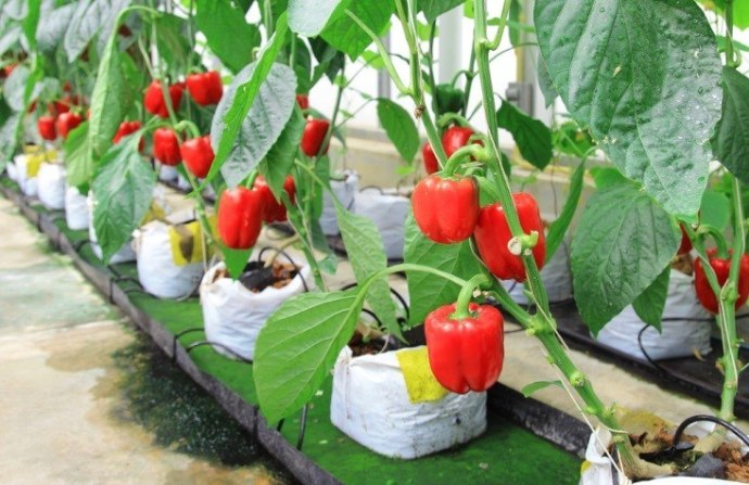 male-and-female-bell-peppers-2