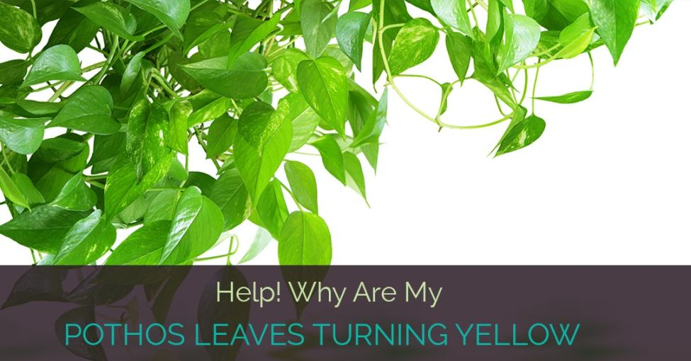 pothos-leaves-turning-yellow