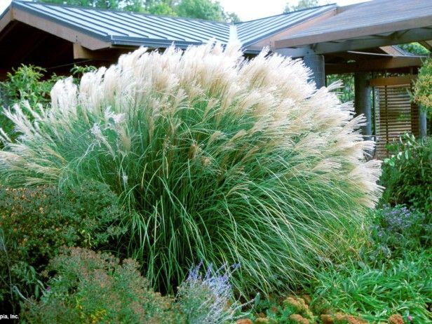 maiden-grass-privacy