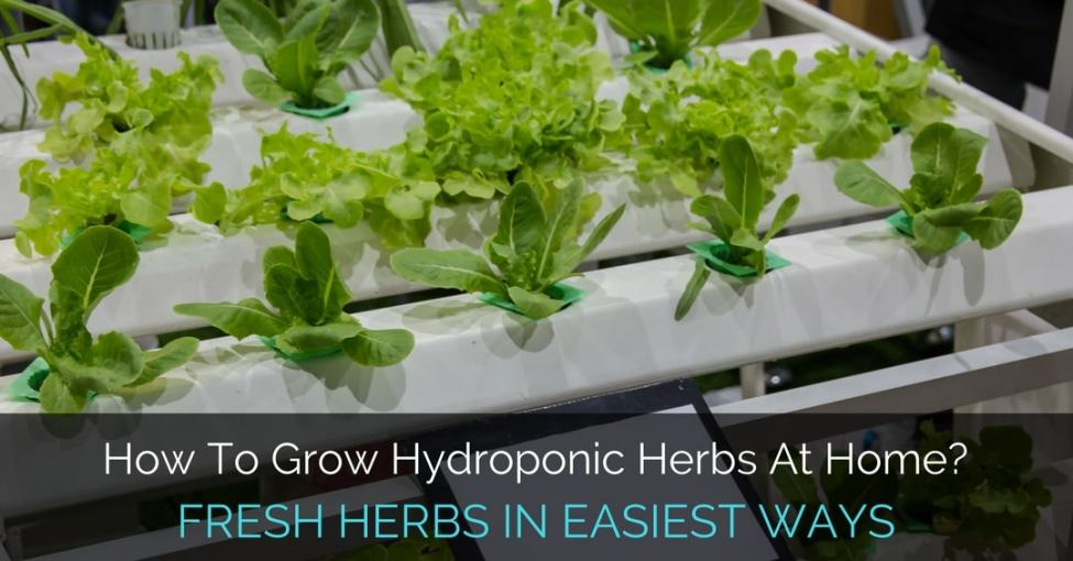 grow-hydroponic-herbs-at-home
