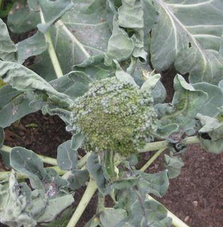 aphids-on-broccoli-damage-1