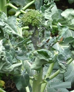 aphids-on-broccoli-damage-2