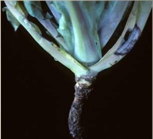 black-leg-on-broccoli