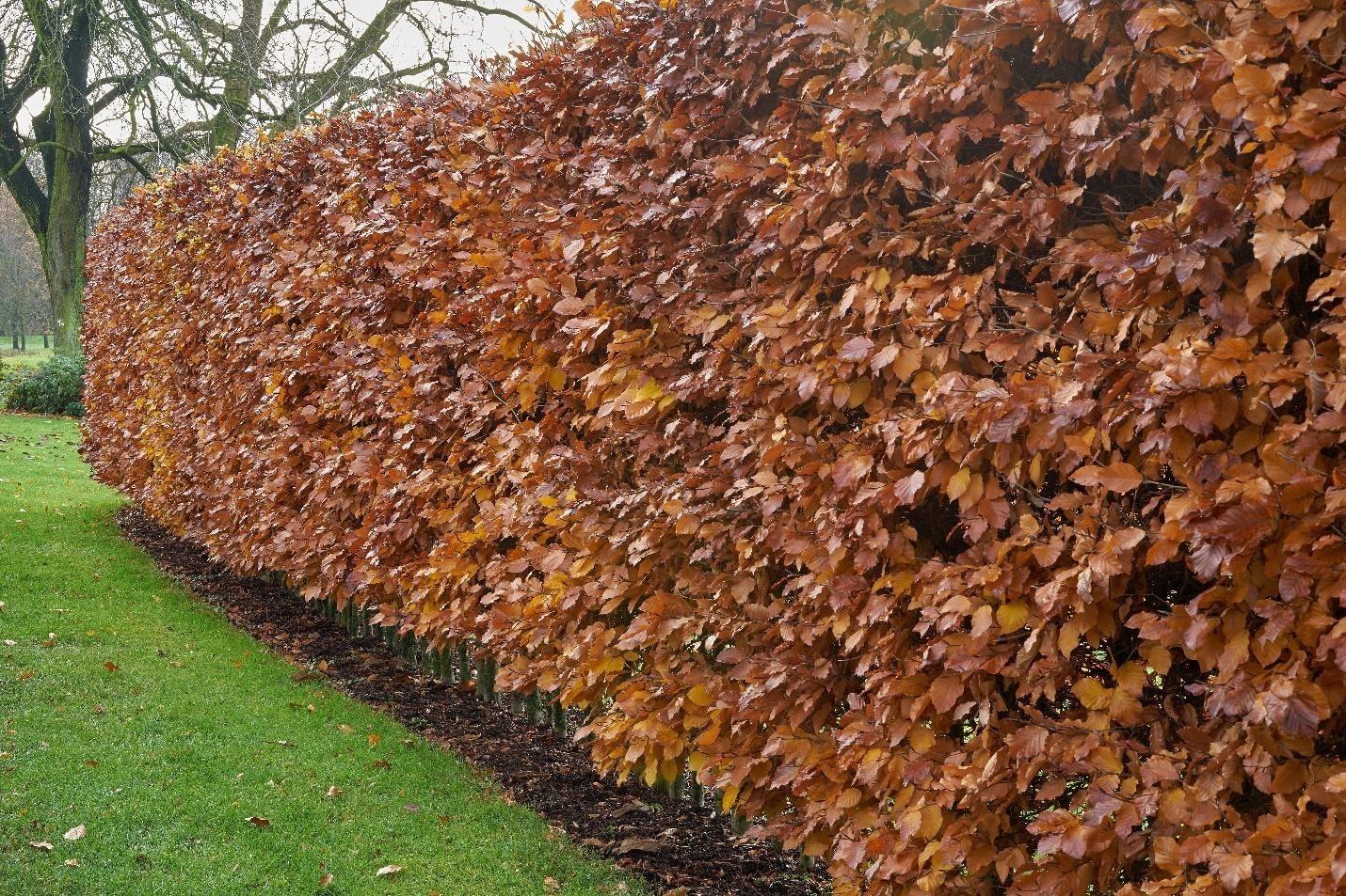 hedge-4