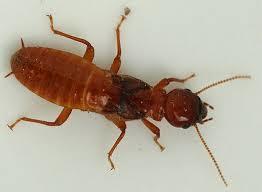 Dampwood termites