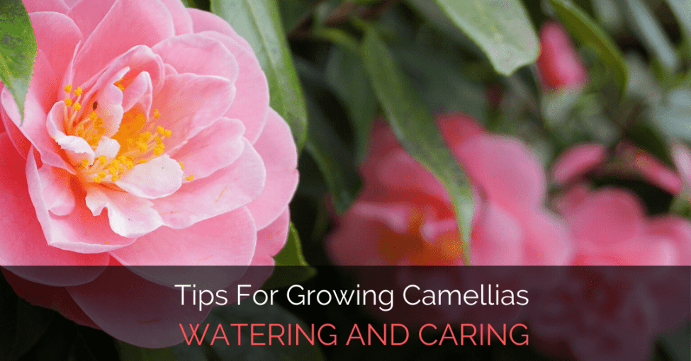 tips-for-growing-camellias