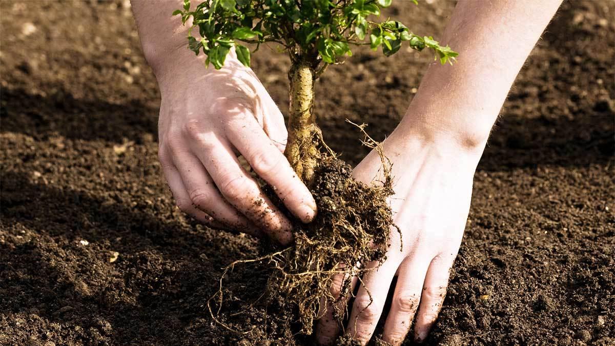 re-planting