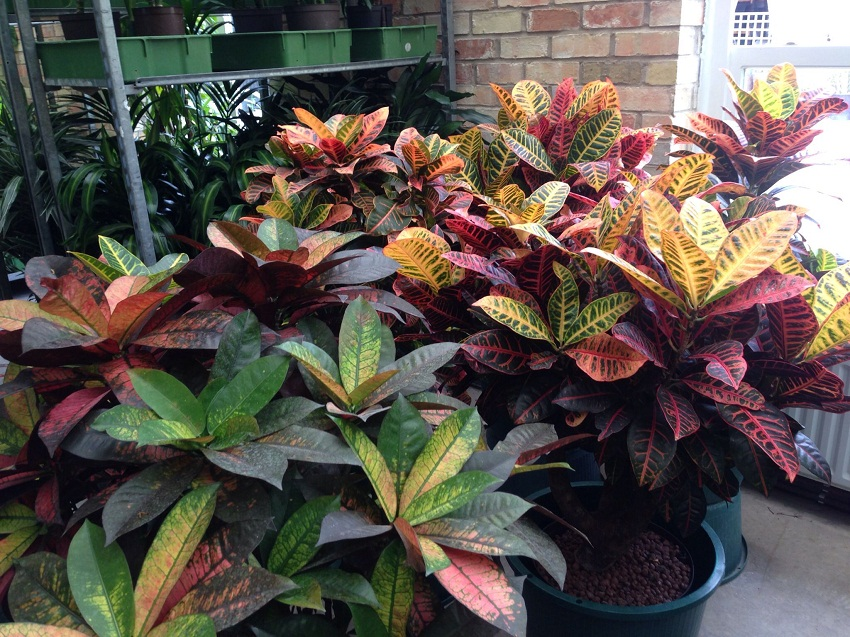 Croton Plant Care And Maintenance