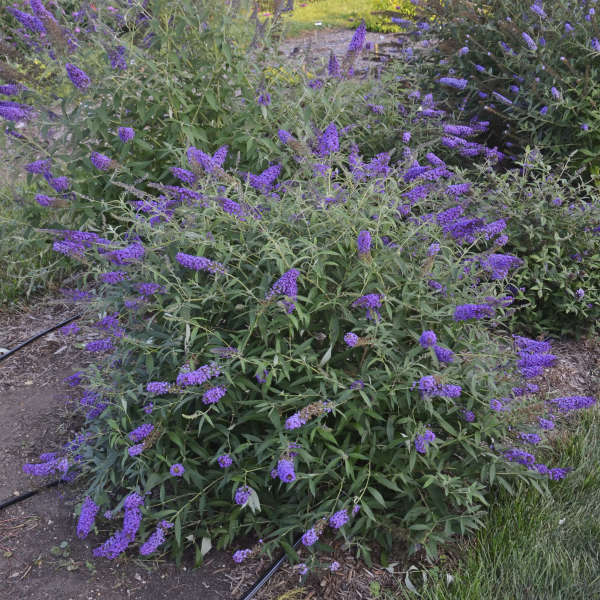 Butterfly Bush Varieties With Pictures Amp How To Care For It