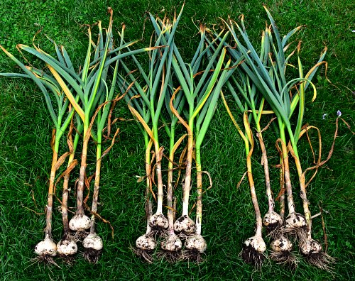 Planting Garlic When Is The Right Time Garden Myths