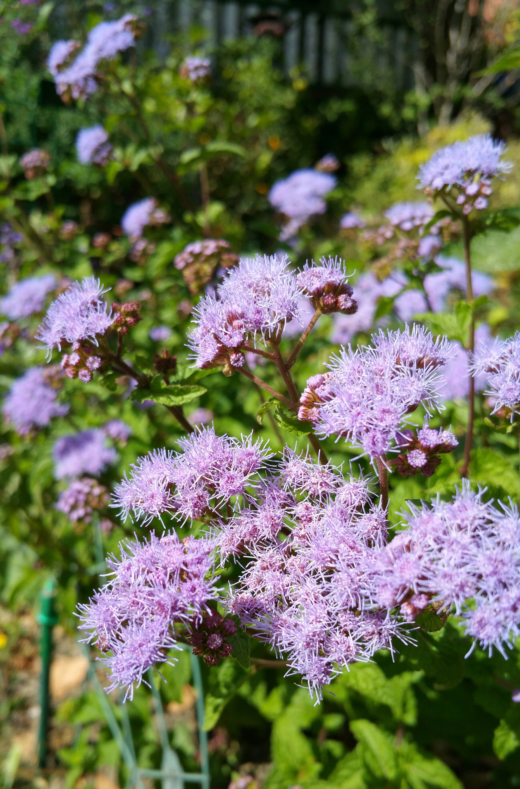 Plants we like blue mistflower conoclinium coelestinum blue mistflower izmirmasajfo