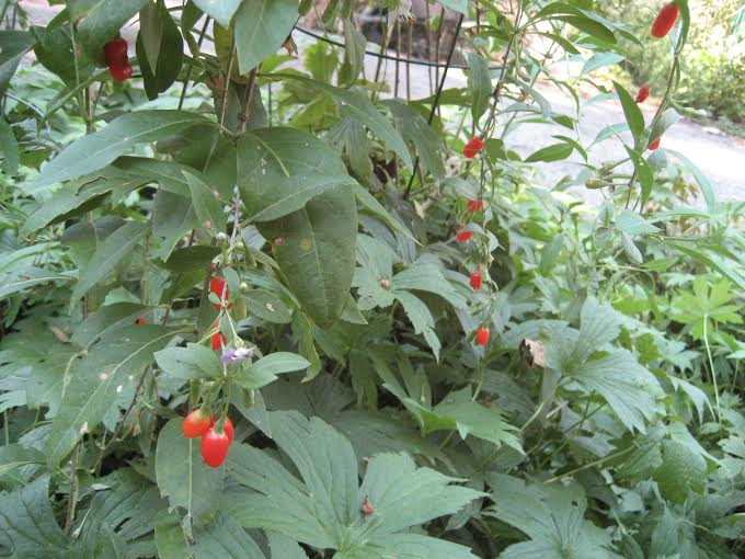 A Permaculture Solution For Goji Berries By Tom Gibson