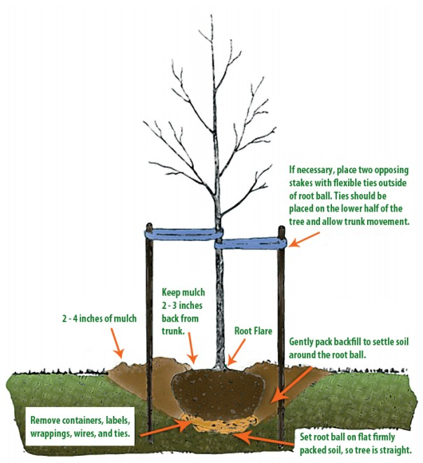 Image C Tree_Planting_Diagram1