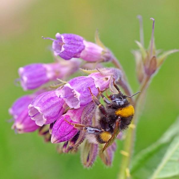 bee on comfrey