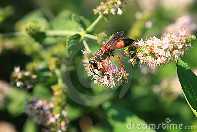 great-golden-digger-wasp-11933359