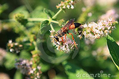 great-golden-digger-wasp-11933359