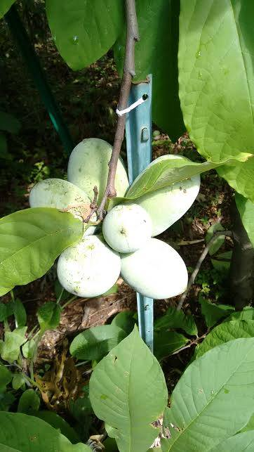saved-pawpaws