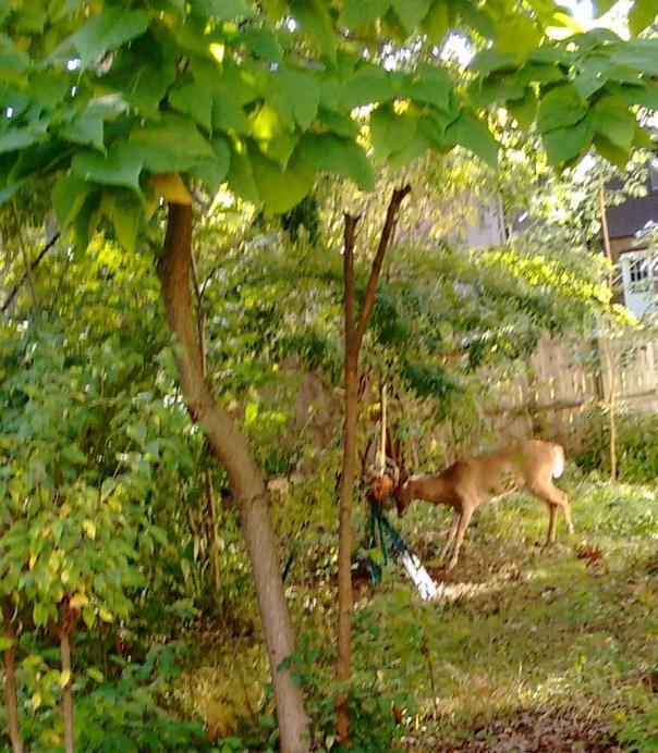 deer-pic-ii